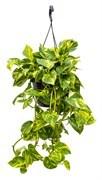 Ампельные (подвесные) растения
