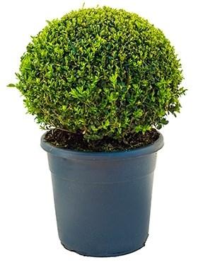 Самшит вечнозелёный шар 60/29 см (Nieuwkoop Europe) - фото 35820