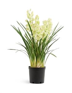 Орхидея Цимбидиум куст бело-лаймовый большой  (искусственная)