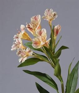 Альстромерия золотисто-розовая