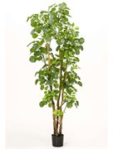 Дерево Полисциас  (591 листьев)