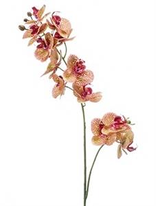 Орхидея Фаленопсис двойная ветвь