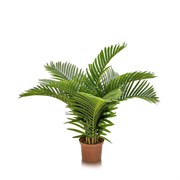 Пальма кустовая латекс
