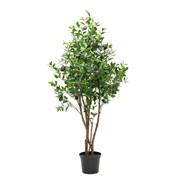 Оливковое дерево (латекс)