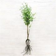 Дерен с соцветиями с корнями (искусственный) Альсид