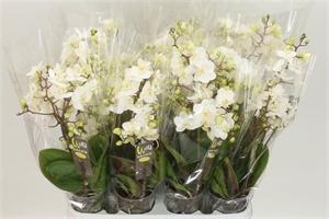 Фаленопсис мультифлора белый 9/30 (GL)