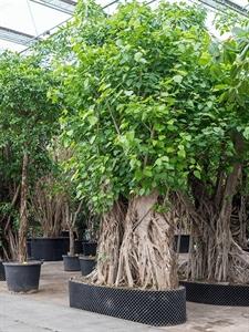 Фикус священныи (дерево бодхи) бонсай (Nieuwkoop Europe)