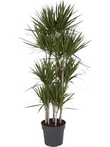 Драцена маргината карусель (8 стволов) (Nieuwkoop Europe)