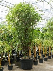 Бамбук вздутый (вентрикоза) многоствольный (Nieuwkoop Europe)