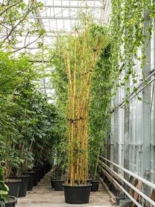 Бамбук обыкновенный (вульгарис) многоствольный (Nieuwkoop Europe)