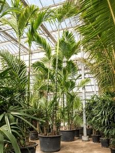 Бетелевая пальма (арека катеху) многоствольная (Nieuwkoop Europe)