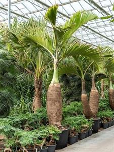 Гиофорба бутылочноствольная (бутылочная пальма) (Nieuwkoop Europe)