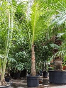 Кокосовая пальма (кокос нуцифера) (Nieuwkoop Europe)