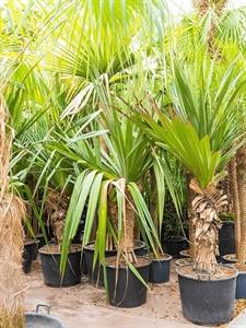 Панданус полезный (винтовая пальма) разветвленная  (Nieuwkoop Europe)