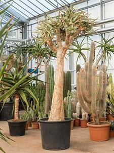 Алоэ дихотомическое (колчанное дерево) разветвленное (Nieuwkoop Europe)