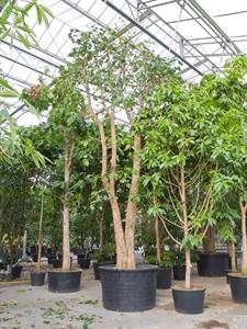 Фикус священный (дерево бодхи) (Nieuwkoop Europe)