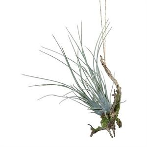 Тилландсия на коряге зелёно-серая подвесная (искусственная) GL