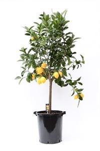 Цитрус Лимон (GL)
