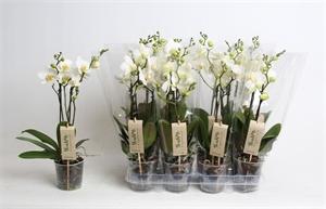 Фаленопсис белый (GL)