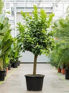 Лимонное дерево 220/55 см (Nieuwkoop Europe)