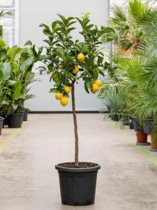 Лимонное дерево 160/40 см (Nieuwkoop Europe)