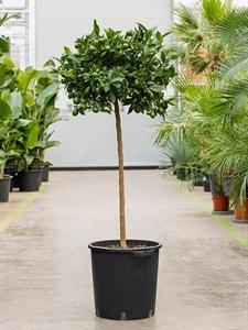 Лимонное дерево 150/38 см (Nieuwkoop Europe)