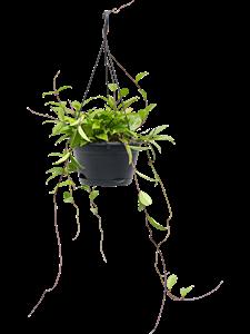 Хойя Грацилис подвесная 60/28 см (Nieuwkoop Europe)