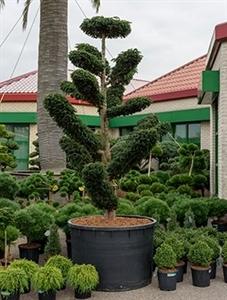 Тис ягодный Довастониана бонсай 360/120 см (Nieuwkoop Europe)