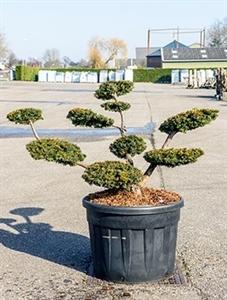 Тис ягодный Саммерголд бонсай 130/70 см (Nieuwkoop Europe)