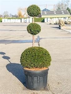Тис ягодный шар тройной 220/70 см (Nieuwkoop Europe)
