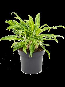 Аглаонема 'sunray green' 45/19 см (Nieuwkoop Europe)