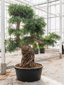 Араукария Каннингема бонсай 220/96 см (Nieuwkoop Europe)