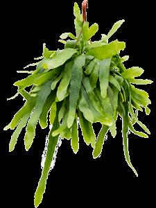 Эпифиллум подвесной 60/21 см (Nieuwkoop Europe)
