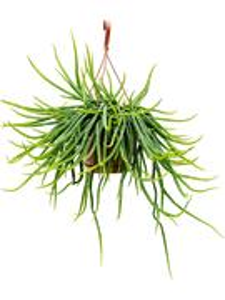 Рипсалис подвесной 70/21 см (Nieuwkoop Europe)