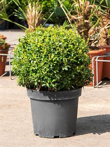 Падуб городчатый 'luxus globe' 45/22 см (Nieuwkoop Europe)