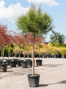 Сосна pinea 160/33 см (Nieuwkoop Europe)