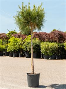 Сосна pinea 180/36 см (Nieuwkoop Europe)