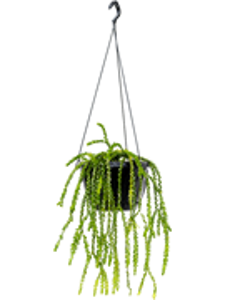 Баранец nummulariifolia подвесной 50/26 см (Nieuwkoop Europe)