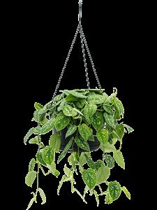 Сциндапсус пиксус 'argyraeus' подвесной 50/28 см (Nieuwkoop Europe)