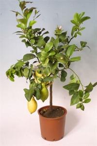 Цитрус Лимон22/85 (GL)