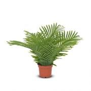 П45/К/49Л(з.) Пальма кустовая (латекс) h45см